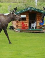 Elk walking in front of cabin
