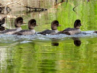 Ducks swimming in a row